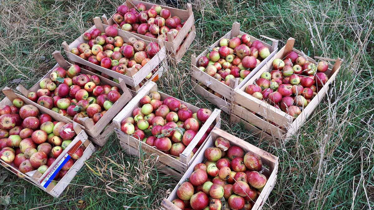 Apfel-Presstag