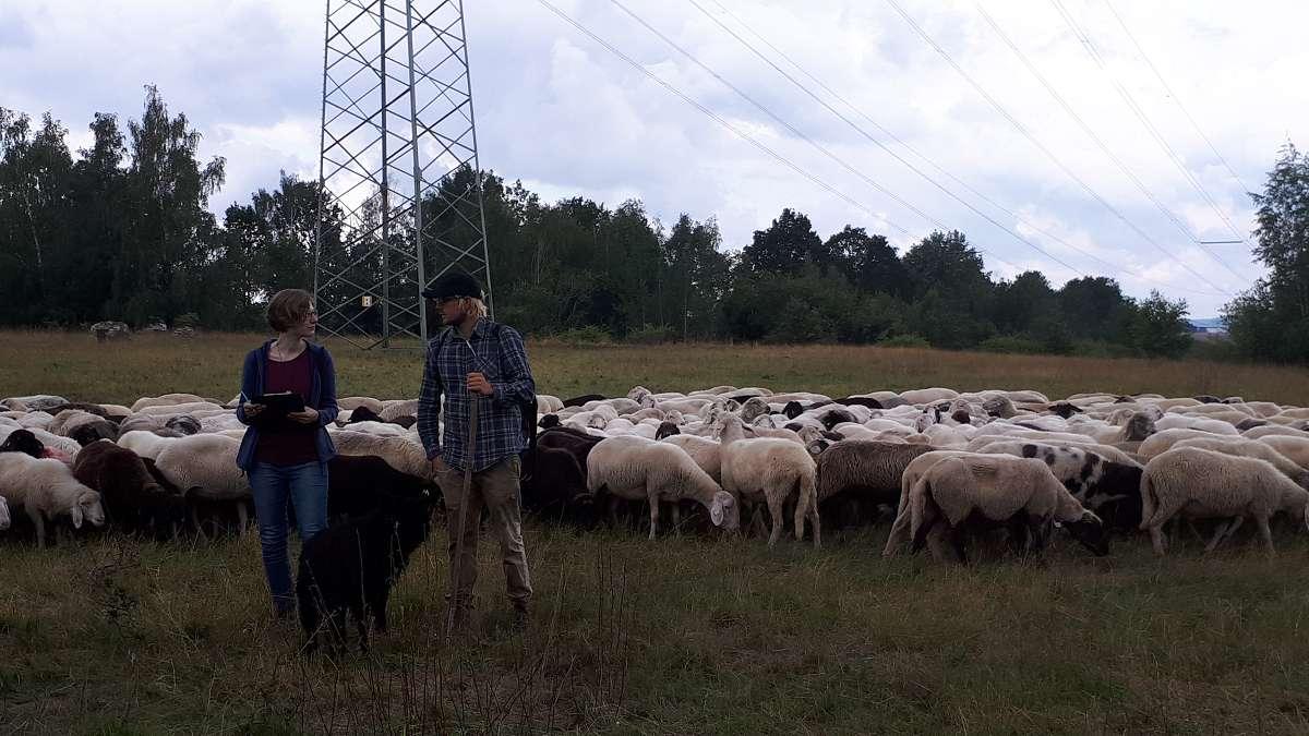 Schafe unter Strom